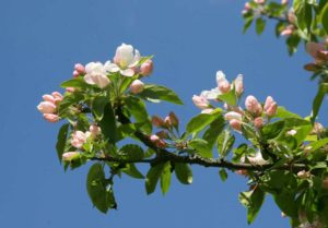 Blooms in summer